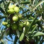 1-olive-224638_640